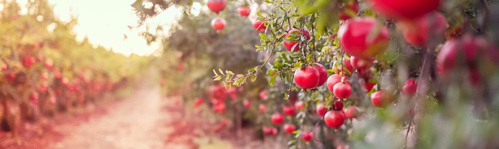 pomegranate field