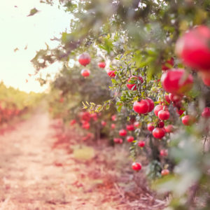 pomegranate field