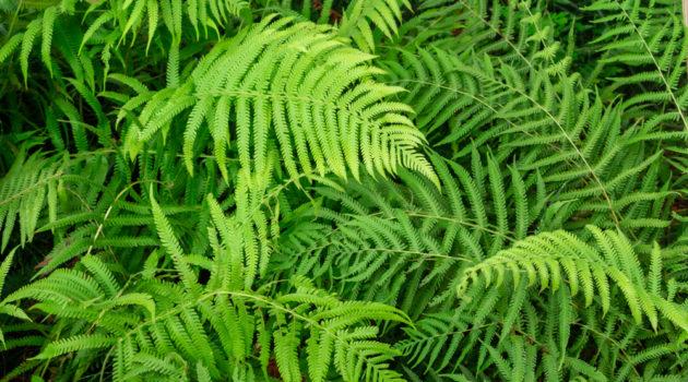 royal fern