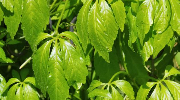 jiaogulan plant